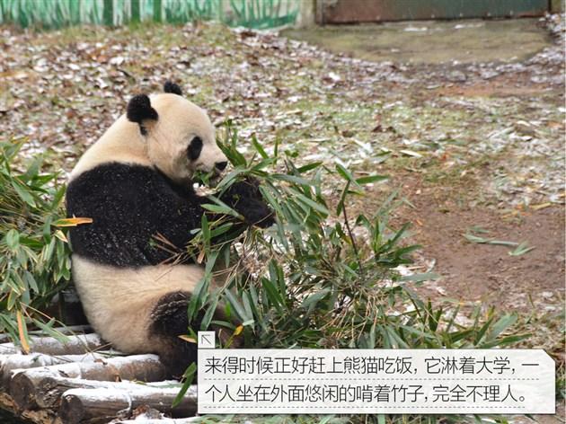 """大熊猫 大熊猫,属于食肉目、大熊猫科的一种哺乳动物,体色为黑白两色,它有着圆圆的脸颊,大大的黑眼圈,胖嘟嘟的身体,标志性的内八字的行走方式,也有解剖刀般锋利的爪子。是世界上最可爱的动物之一。大熊猫已在地球上生存了至少800万年,被誉为""""活化石""""和""""中国国宝"""",世界自然基金会的形象大使,是世界生物多样性保护的旗舰物种。据第三次全国大熊猫野外种群调查,全世界野生大熊猫不足1600只,属于中国国家一级保护动物。截止2011年10月,全国圈养大熊猫数量"""