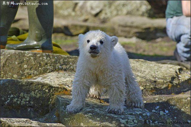> 超可爱的小北极熊